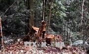 Truy nã hai nghi can chủ mưu vụ phá rừng lim xanh cổ thụ tại Quảng Nam