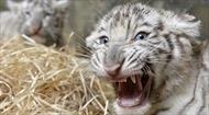 Vừa đi làm vài ngày, nhân viên sở thú bị hổ trắng con vồ chết