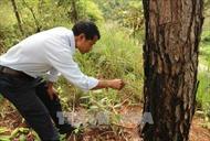 Dùng thuốc diệt cỏ đầu độc 151 cây thông 30 năm tuổi tại Đà Lạt