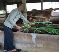 Người mang bò lai sind đến nuôi trên vùng đất nhiễm mặn ven biển