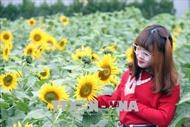 Hoa hướng dương nở giữa Hoàng Thành Thăng Long