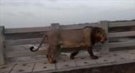 Sư tử lững thững 'di dạo' trên cầu