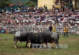 Hội chọi trâu Hàm Yên thu hút hàng vạn du khách