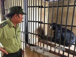 Hai gấu ngựa nhốt bất hợp pháp được đưa về Trung tâm cứu hộ
