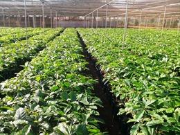 Hơn 15 triệu cây giống cà phê kháng bệnh cho nông dân