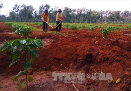 Bất cập trong vay vốn trồng tái canh cà phê