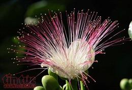 Lung linh sắc hoa bàng vuông ở Trường Sa