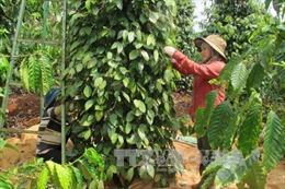 Lâm Đồng: Sạt lở đất, hơn 10 ha cà phê đang thu hoạch nguy cơ mất trắng