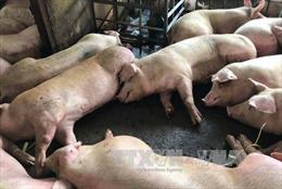 TP. Hồ Chí Minh phát hiện thêm 70 con lợn bị tiêm thuốc an thần