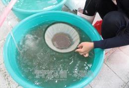 Nâng chất lượng sản xuất tôm giống Ninh Thuận