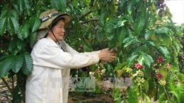 Bà Rịa - Vũng Tàu: Năng suất cà phê tăng, giá giảm