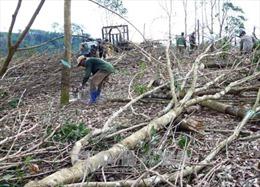 Nông dân Phú Yên bán cây cao su và keo với giá rẻ