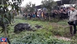 Xung quanh thú chơi cho chó săn cắn xé lợn rừng