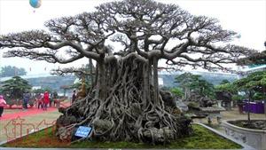 Cây cảnh trăm tỷ trưng bày tại triển lãm cây cảnh huyện Phúc Thọ, Hà Nội