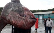 Bắt được cá 1 tấn xấu xí, ngư dân Nga quẳng cho gấu ăn