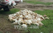Bình Phước: Bắt quả tang xe tải chở hàng trăm kg gà chết trên đường đi tiêu thụ