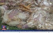 Bắt giữ hàng trăm kg gà chết trên đường đi tiêu thụ