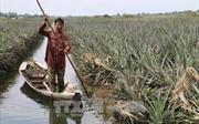 Tiền Giang 'trực chiến' bơm nước ngập, giải cứu dứa cho nông dân