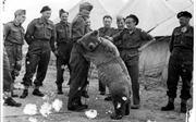 'Gấu chiến binh' - thành viên đặc biệt của quân đội Ba Lan trong Thế chiến II