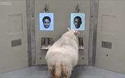 Phát hiện thú vị mới về loài cừu