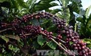 'Ngày Cà phê Việt Nam lần thứ nhất' sắp diễn ra tại Đà Lạt