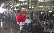 Đoạn video bạo hành bò sữa gây sốc tại Mỹ