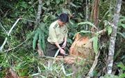 Thông tin phá rừng phòng hộ đầu nguồn ở Lào Cai chưa chính xác
