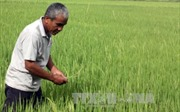 Muỗi hành gây hại lúa Đông Xuân tại Kiên Giang
