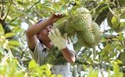 Gần 460 tỷ đồng xây dựng hạ tầng để phát triển vườn cây ăn trái Trà Vinh