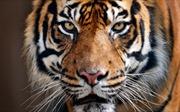 Hổ 200 kg xổng chuồng dạo chơi trên phố, dân Paris hốt hoảng