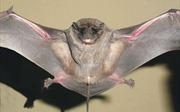Phát hiện loài dơi mặt chó mới tại Panama và Ecuador
