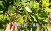Xuất hiện mưa trái mùa đầu Xuân, nông dân trồng điều phấp phỏng mùa vụ