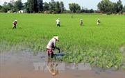Lúa Đông Xuân ở Hậu Giang được thu mua với giá tăng cao