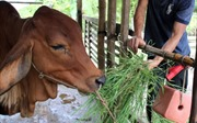 Hỗ trợ hộ nghèo bò giống... lở mồm long móng