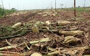 Nông dân Mê Linh (Hà Nội) xót xa vứt bỏ củ cải trắng đồng