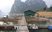 Nhân rộng mô hình nuôi cá lồng trên hồ thủy điện Lai Châu