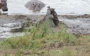 Đàn hà mã 'nổi máu anh hùng' cứu linh dương khỏi hàm cá sấu dữ
