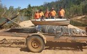Sau 8 năm ròng rã truy lùng, lực lượng chức năng Australia bắt được cá sấu khổng lồ