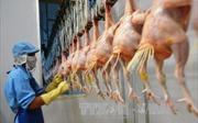 Thịt gà Việt Nam 'rộng cửa' đi Nhật Bản và các thị trường khó tính