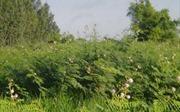 Thử nghiệm diệt trừ thực vật ngoại lai xâm hại Vườn Quốc gia Phong Nha-Kẻ Bàng