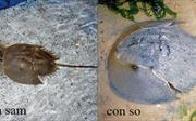 Phân biệt rõ con sam - con so để phòng tránh ngộ độc chết người