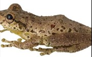 Kỳ lạ loài ếch kêu giống tiếng... dê